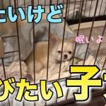 🔴遊びたいけど眠たい子犬【子犬】【可愛い】【癒し】【チワワ】