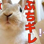 【かわいい】うさぎにドヤ顔された!?意外とうさぎの知能は高い funny rabbit video