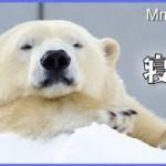 リラの可愛い寝顔と登れない場所 Polar Bear Rest and Play
