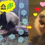 2019/2/10 シャンシャンパンダかわいい608日齢 (2) ♥雪が降っても食べる事への意欲はなくならない❣️