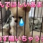🔴遊んでほしいあまり思わず鳴いちゃう子犬【子犬】【可愛い】【癒し】【チワワ】