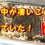 昆虫動画 菌糸ブロックの産卵セットの中身が凄いことになっていた!【粟國土建】
