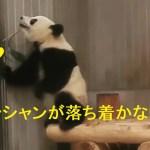 2019/2/6シャンシャンが落ち着かない。そして、可愛い💕どうしたんだろう?シャンシャン604日齢❤上野動物園