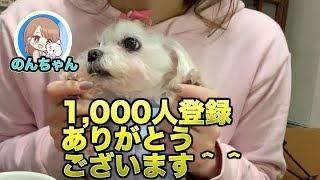 犬 かわいい のんちゃん´•ﻌ•`🐾インタビュー編!のんちゃんのことがちょっとわかるかも!