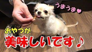 おやつが大好きな子犬チワワ【みるく】【可愛い】【dog】【puppy】