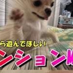 テンションMAX!早朝から遊んで欲しい子犬チワワ!【みるく】【可愛い】【dog】【puppy】