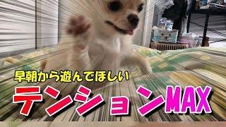 🔴テンションMAX!早朝から遊んで欲しい子犬チワワ!【みるく】【可愛い】【dog】【puppy】