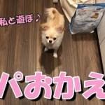 🔴パパおかえり!出迎えてくれる子犬チワワ【みるく】【可愛い】【dog】【puppy】