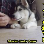 食べるのが速すぎるハスキー犬がかわいい Husky Puppy