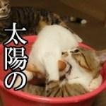 かわいい子猫が突然お家にやってきた-その時、先住猫達は・・・?!13週間目5-kitten came to our house 91