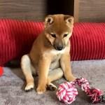 柴犬(豆柴)みかん|子犬の1週間☆かわいい&おもしろシーン集