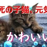 #瀕死の子猫 未公開シーン 可愛いとこ集めた! Cute scene of a dying kitten #354