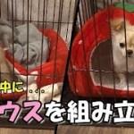 🔴お留守番中に「苺ハウス」を組み立てる子犬チワワ【みるく】【可愛い】【dog】【puppy】
