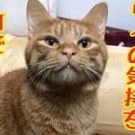 【猫 鳴き声】一生懸命何かを訴えてくる猫がかわいい