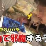 🔴パパのゲームを全力で邪魔する子犬チワワ【みるく】【可愛い】【dog】【puppy】