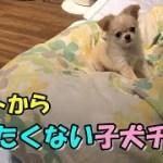 🔴ベットから下りたくない子犬チワワ【みるく】【可愛い】【dog】【puppy】