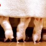 ハムスターが短い手足で懸命に重力に逆らう様子。可愛い癒しおもしろ動物The hamster resists gravity with short hands and feet.