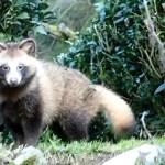 今年も裏山からタヌキ君がやって来たよ~(意外と可愛い顔してました)Japanese raccoon dog(TANUKI)【いなか猫1912】(番外編)