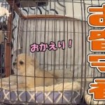 🔴子犬チワワがお留守番出来るようになった!【みるく】【可愛い】【Chihuahua】【dog】【puppy】