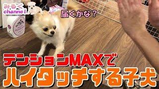 🔴子犬チワワのハイテンションはハイタッチ!【みるく】【可愛い】【Chihuahua】【dog】【puppy】