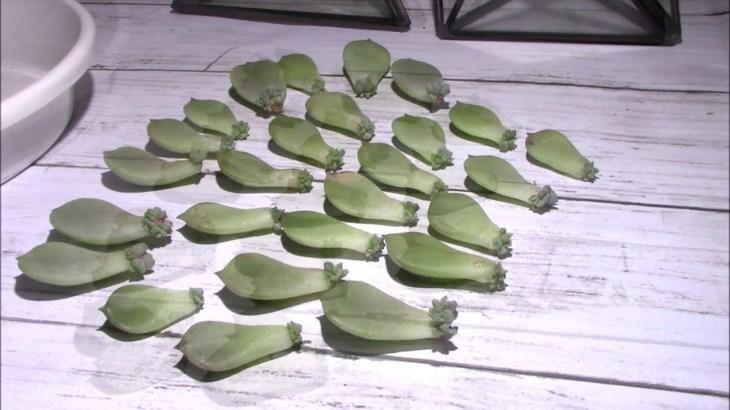 白ボタンの葉挿し「驚きの発芽率🎶」多肉植物の増やし方 SUCCULENT INCREASE
