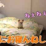 🔴一緒に寝ようと誘ってくる子犬チワワ【みるく】【可愛い】【dog】【puppy】