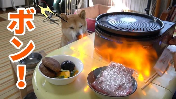柴犬小春 びっくり!爆発焼肉