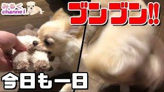 🔴子犬チワワのブンブンTIME!!【みるく】【可愛い】【Chihuahua】【dog】【puppy】