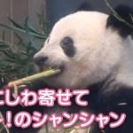 2019/4/9 (1) むき~!鼻にしわ寄せる可愛いシャンシャン♡
