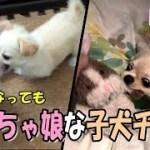 🔴大きくなってもやんちゃな娘な子犬チワワ【みるく】【可愛い】【dog】【puppy】
