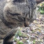 撫でられた瞬間柔らかな表情に変わるトラ猫 かわいい猫動画