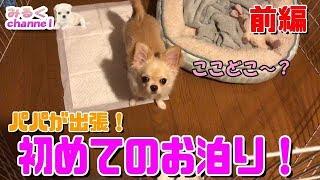 🔴子犬チワワのはじめてのお泊り!-前編-【みるく】【可愛い】【Chihuahua】【dog】【puppy】