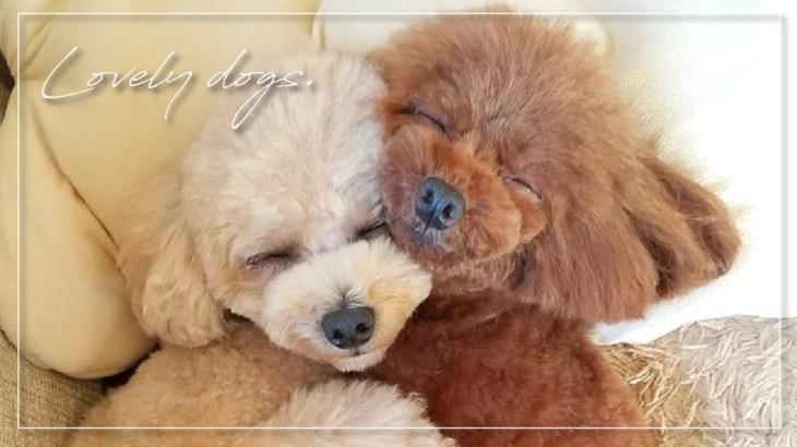 くっついて離れない,仲良しトイプードル(子犬)の可愛い日常Vol2|Toy poodle Sisters|토이 프들 자매 #Dog#Toypoodle#Cute