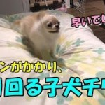 🔴エンジンがかかり、走り回る子犬チワワ【みるく】【可愛い】【dog】【puppy】