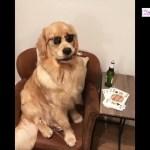 「最高におもしろ犬」かわいいゴールデンレトリバー犬のハプニング, 失敗動画集 #9