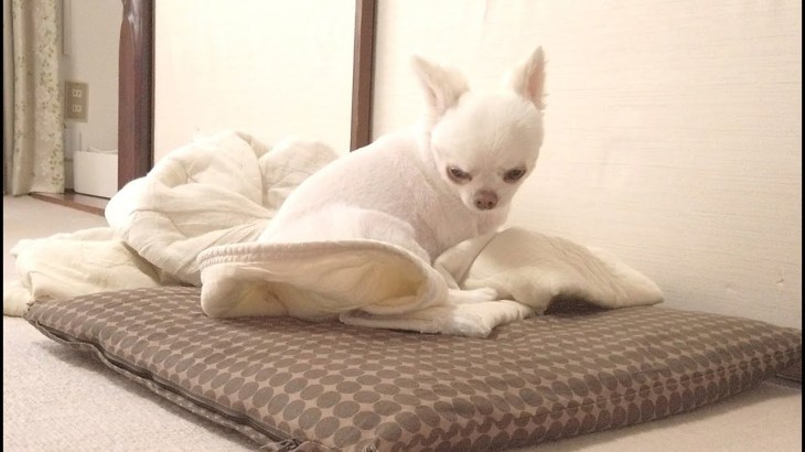赤ちゃんみたいに可愛い犬のお昼寝!チワワのコハク