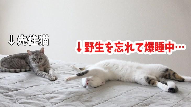 先住猫マロの横ですごいポーズで爆睡する新入り猫チロ