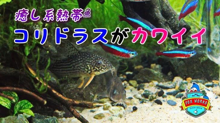 No.061 癒し系熱帯魚  コリドラスがカワイイ