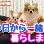 【puppy dog】子犬と先住犬が初対面!いよいよ多頭飼い生活スタートです【かわいい犬】【chihuahua】【cute dog】【ペット動画】