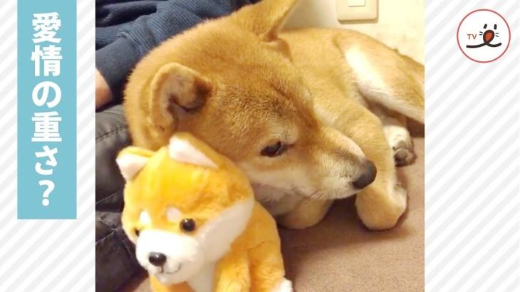 オモチャのワンコに甘える柴犬がカワイイ😍🐕【PECO TV】