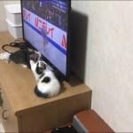 オス2匹がテレビに噛り付く様子がかわいい