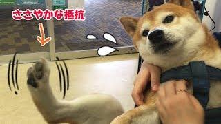 柴犬リキ 病院で泣きそうになりつつジタバタする可愛いおにぃワン♪
