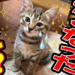 かわいい子猫 ミルクの途中でママに逃げられて唖然とする子猫がかわいい aww, kitten can`t  lap up milk