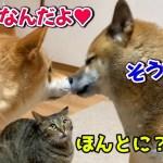 猫に耳をパクっとされて驚きを隠せない柴犬 He is kind to a cat