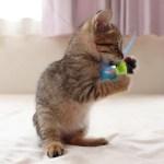 チョロチョロとおもちゃを狩りに勤しむキジトラ子猫がかわいい