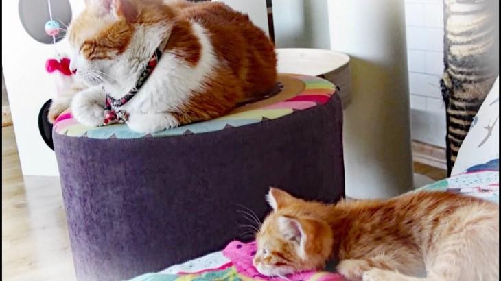 子猫と先住猫 可愛い成長の様子を楽しむの巻き 後編