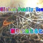 SUGIchan Family News 9 『眠りに落ちる可愛いキセキレイのヒナ』