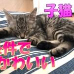 子猫の可愛いしぐさ / Kitten's cute gesture