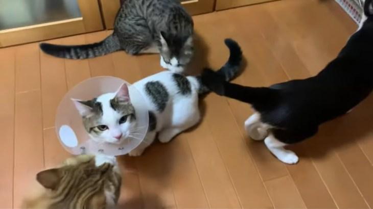 去勢手術から帰ってきた猫がかわいい