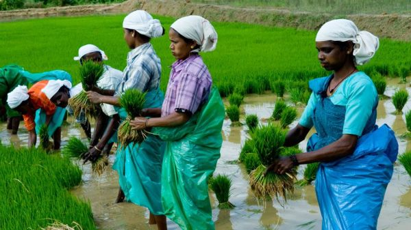 Tribal_Wayanad-rice-planting
